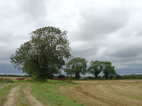 Four_ash_trees_near_Atterby_-_geograph.org.uk_-_544680.jpg
