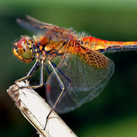 Dragonfly Brains Inspire Smarter Self-Driving Cars