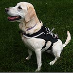 Harness Detects Dog Obedience